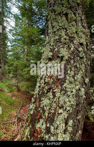 Baum Moos (pseudevernia furfuracea) auf Lärche trunk, Aostatal, Italien - Stockfoto