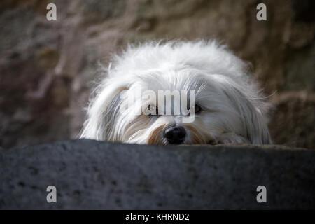 Ein kleiner weißer Hund Balatonfüred in einer steinstufe und blickt in die Kamera. - Stockfoto