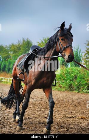 Pferd Kabelbaum Fahrten auf der Rennstrecke. - Stockfoto