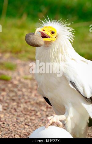 Schmutzgeier (neophron percnopterus) Raubvogel, genannt auch die weiße scavenger Geier oder des Pharao Huhn, brach - Stockfoto