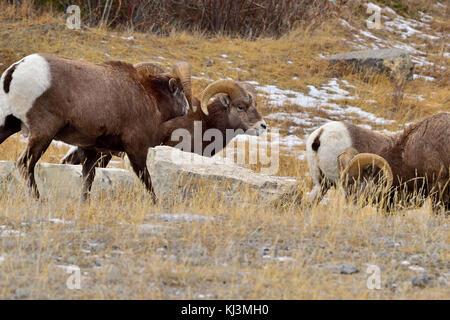 Ein Bighorn ram (Ovis canadensis) der Versuch, einem anderen ram von der Herde der frmales abzulenken, dass er sich - Stockfoto