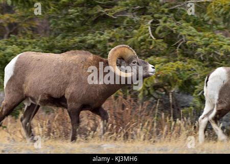 Ein erwachsener Bighorn Schafe (Ovis canadensis); nach einer Frau in der furche im Jasper National Park in Alberta, - Stockfoto