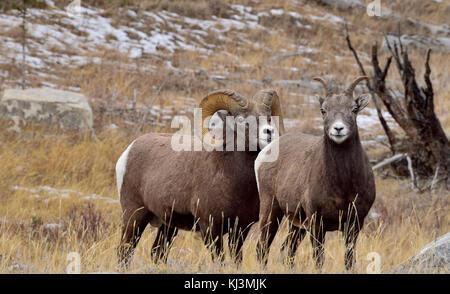 Zwei Bighorn Schafe (Ovis canadensis), männlich und weiblich steht im hohen Gras in Jasper National Park, Alberta, - Stockfoto