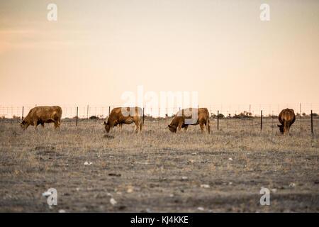 Eine Gruppe von vier Kühe grasen in einer Wüstenlandschaft der Steppe während einer langen Zeit der Dürre. Cáceres, - Stockfoto
