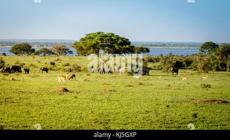 Ein einsamer Sonnenschirm thorn Akazie in der Murchison Falls National Park Savannah in Uganda derzeit von Öl bohren - Stockfoto