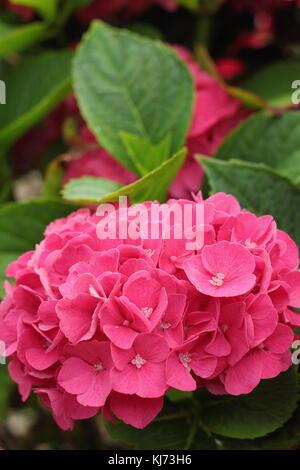 """Die Hydrangea macrophylla chone Bautznerin"""" in voller Blüte in einem Garten an einem hellen Sommertag (August), - Stockfoto"""