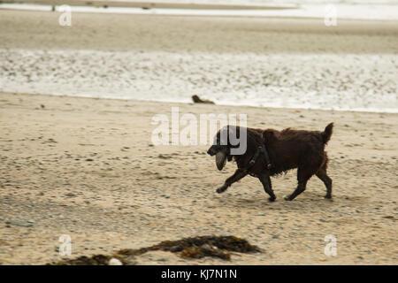 Patterdale Terrier spielen mit einem großen Stein am Strand - Stockfoto