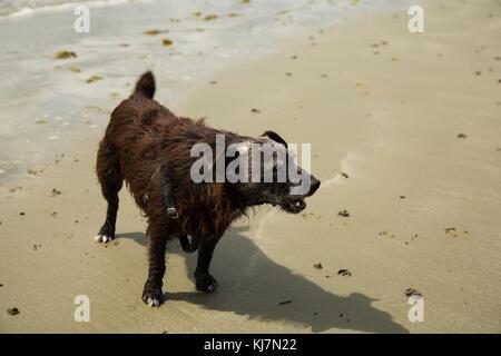 Eine patterdale terrior spielen am Strand - Stockfoto