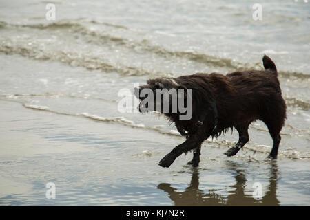 Eine patterdale terrior Spielen am Strand und bellen - Stockfoto