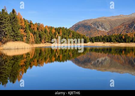 Autumnally farbige Lärchenwald im See stazersee, st. moritz, Graubünden, Schweiz - Stockfoto