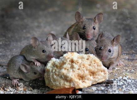 ... Mäuse Fressen An Kuchen Im Städtischen Haus Garten.   Stockfoto