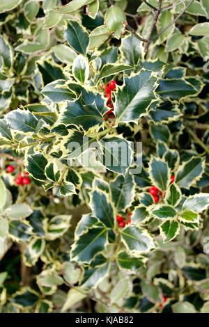 Ilex aquifolium 'handsworth neue Silber' mit roten Beeren - Stockfoto