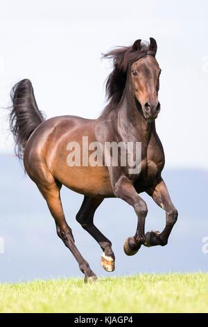 Morgan Horse. Bay gelding gallopieren auf einer Weide. Schweiz - Stockfoto