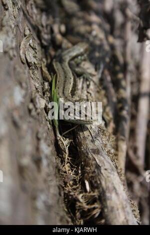 Lacerta Zootoca vivipara, gemeinsame Eidechse kommenden Fläche entlang einer liegenden Baumstamm, neben einem Keimenden gras Sämling.