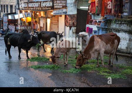 Kühe essen auf einer Straße in Udaipur, Indien. - Stockfoto
