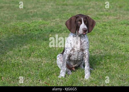 Zeiger - Deutsch Kurzhaar Deutsch Kurzhaar Pointer deutsche Vorstehhund - Stockfoto