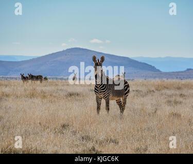 Ein cape Mountain Zebra im südlichen afrikanischen Savanne