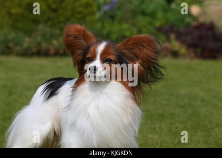 Papillon, Continental Toy Spaniel Schmetterling Hund - Stockfoto