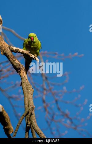 Ein einsamer Ring necked parakeet ruht auf einem Ast, Scheune Hill, Wembley Park - Stockfoto