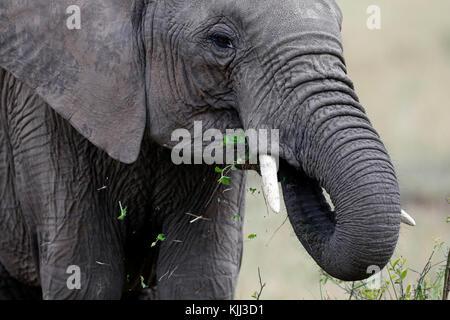 Afrikanischer Elefant (Loxodonta africana) essen. Masai Mara Game Reserve. Kenia. - Stockfoto
