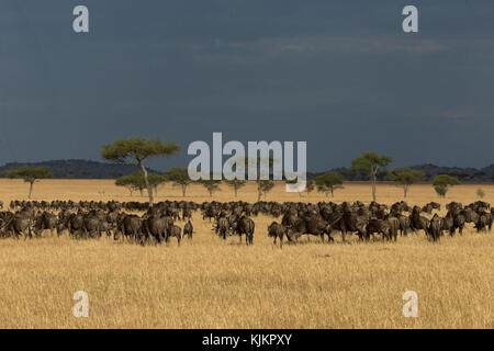 Serengeti National Park. Streifengnu (connochaetes Taurinus) Herde Migration durch die Savanne. Tansania. - Stockfoto