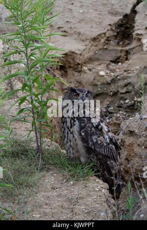 Uhu (Bubo bubo), Vogel, über Tag ruht in einer Kiesgrube, drehen Sie den Kopf, Rücken gerade für seine Küken, Wildlife, - Stockfoto