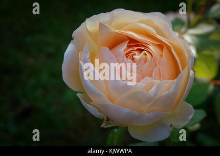 David C. H. Austin züchtete diese wunderschöne apricot, cremefarbene Englische Rose in Großbritannien mit 1989. - Stockfoto