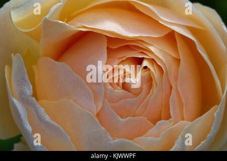 Der Name dieses englischen Old Rose Hybrid ist 'Jude the Obscure'. - Stockfoto