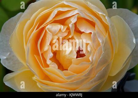 """Der Name dieses englischen alte Rose Hybrid ist """"Jude the obscure"""". - Stockfoto"""