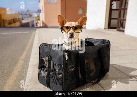 Chihuahua Hund in Transport Tasche oder Kiste bereit, als Haustier in der Kabine in der Ebene oder dem Flugzeug - Stockfoto