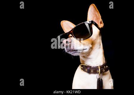 Cool trendige Posing chihuahua Hund mit Sonnenbrille sieht aus wie ein Modell, auf schwarzem Hintergrund - Stockfoto