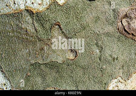 Detail der Grüne Baum Rinde eines Platanus (Ebene) im Herbst - Stockfoto