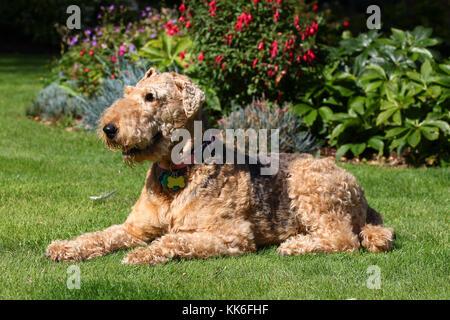 Terrier - Airedale Terrier Airedale Terrier Wasserseite - Stockfoto