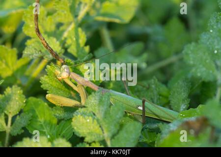 In der Nähe der weiblichen Gottesanbeterin (Sphodromantis viridis), die in Zypern - Stockfoto