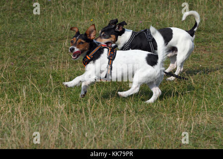 Terrier Jack Russell Terrier Jack Russell Terrier rebel - Stockfoto