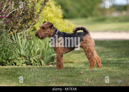 - Welsh Terrier Welsh Terrier stehend - Stockfoto
