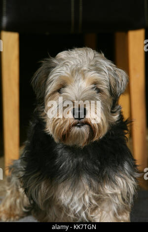 Lucus Terrier - Stockfoto