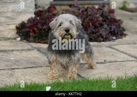 Terrier - Lucas Lucas terrier stehend - Stockfoto