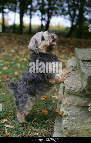 Terrier - Lucas Lucas terrier stehend Hinterbeine - Stockfoto