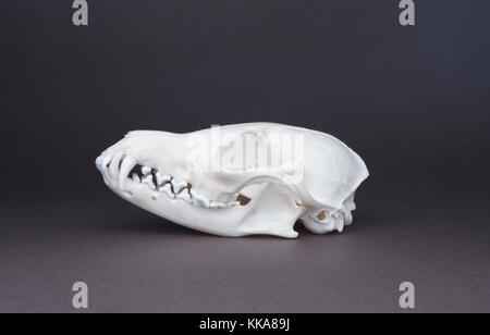 Schädel von Red Fox (Vulpes vulpes), Schädel, canine, Schneidezahn, carnassial und molare Zähne - Stockfoto