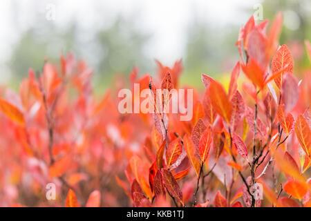Makro Nahaufnahme von vielen bunten rot Heidelbeeren im Herbst zeigen Details, Texturen und Muster im Morgennebel - Stockfoto