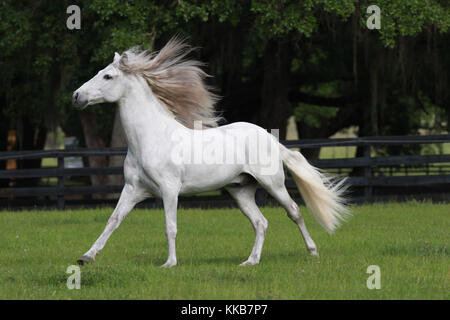 Andalusische Pferd - Stockfoto
