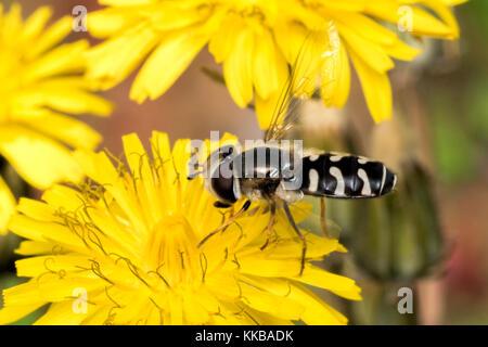 Pied (Scaeva pyrastri Hoverfly) auf Löwenzahn Blume. Tipperary, Irland. - Stockfoto