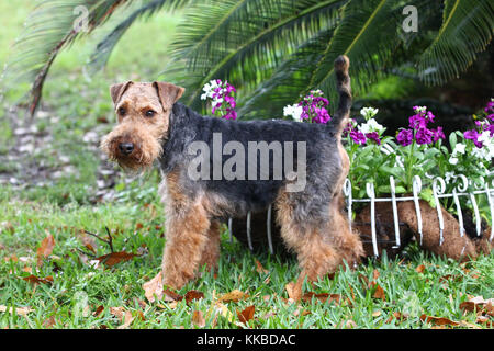 Welsh terrier - Stockfoto