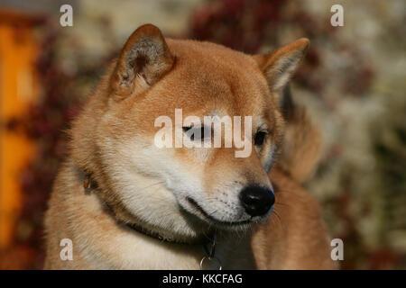 Shiba Inu Hund - Stockfoto