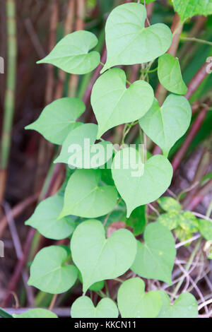 Gruppe von frischem Grün herzförmigen Blätter im tropischen Asien. - Stockfoto