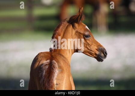 Arabische fohlen Headshot - Stockfoto