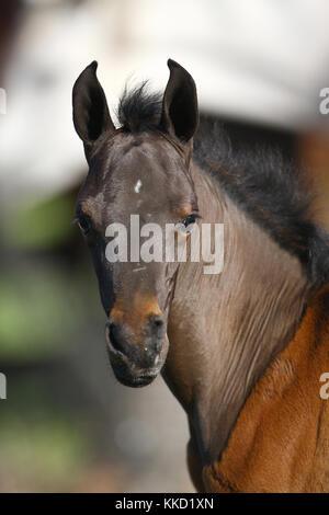 Arabische Fohlen - Stockfoto
