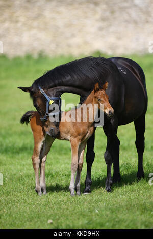 Warmblut Pferd - Stockfoto