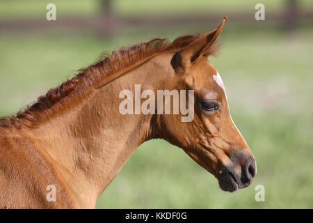 Chestnut arabischen Fohlen Headshot - Stockfoto